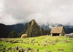 Lama Above Misty Machu Picchu, Peru