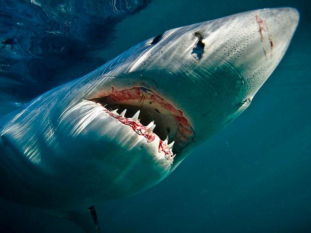 Большие белые акулы каждый год преодолевают тысячи километров, совершая...