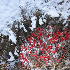 Irresistiberries (carvermon) Tags: winter red snow berries foliage bej mothernaturesgreenearth carvermon pewans