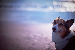 balmy day of winter (moaan) Tags: leica dog beach smile smiling 50mm corgi warm dof bokeh f10 calm shore utata ripples noctilux welshcorgi shonan 2010 m9 glisten lookback 湘南 chigasaki wavelets 茅ヶ崎 pochiko leicanoctilux50mmf10 leicam9 gettyimagesjapanq1 gettyimagesjapanq2
