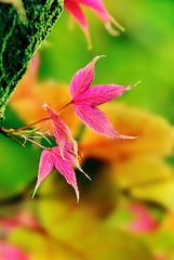 楓葉 Merry Christmas !!Happy New Year!! (Fu-yi) Tags: flowers leaf maple sony taiwan mapleleaf alpha dslr 台灣 楓葉 formosan 植物類