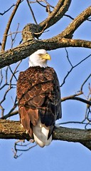 Eagle in the Tree Top (Picture Taker 2) Tags: winter cold bird nature beautiful closeup river outdoors colorful pretty eagle native wildlife baldeagle hunter curious wilderness predator upclose illinoisriver wildbird otw featheryfriday almostanything thewonderfulworldofbirds