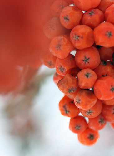 Mountain ash berries with red orange blur