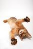 Abyssinian (20EURO) Tags: winter cats animals abyssinian 猫 catseye ひげ 白 肉球 茶色 アビシニアン nekocafe ネコカフェ 寝転ぶ 洋猫 ペットモデル 成猫