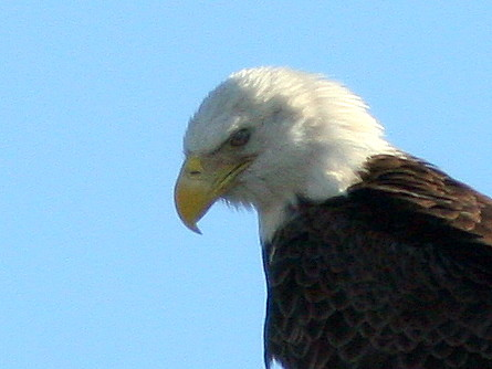 Bald Eagle head 20101221