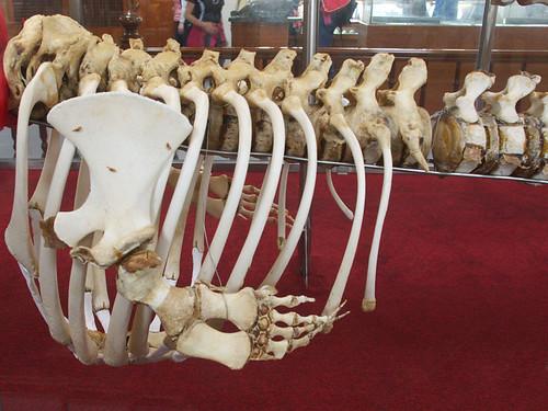 小抹香鯨的肋骨與「手」骨