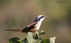 Long -tailed Shrike (Abhijit Joshi) Tags: india birds canon maharashtra pune birdwatcher 400mm sinhgad laniusschach longtailedshrike canonef400mmf56l rufousbackedshrike 1000d atkarwadi