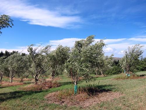 Molive Olive Grove