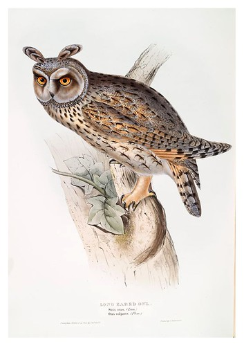 016-Buho pequeño- The birds of Europe Tomo I-1837- John Gould