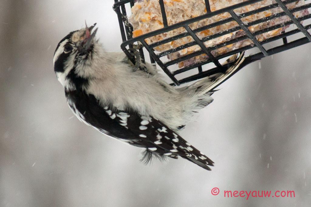 Woodpeckers    009.jpg