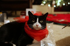 The cat, wearing a scarf, on a plastic bag