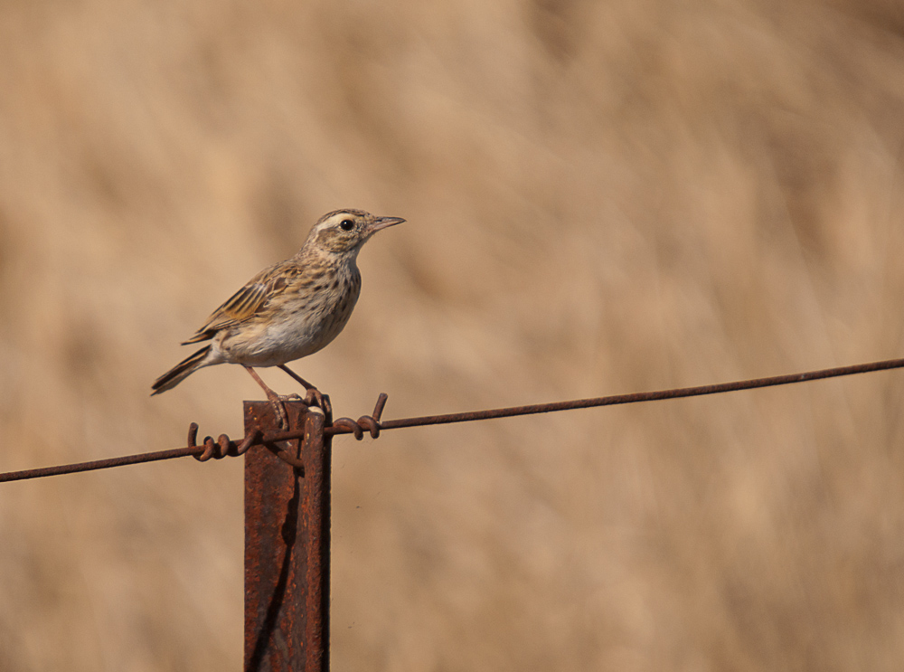 Australian Pipit AKA: Richard's Pipit (Anthus australis) Just North of Gawler, SA