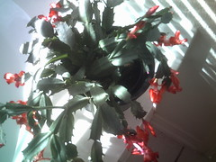 Christmas Cactus, January 2, 2011