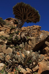 Dragon blood tree (Michael Elkjaer) Tags: tree nature island blood dragon yemen endemic isolated socotra
