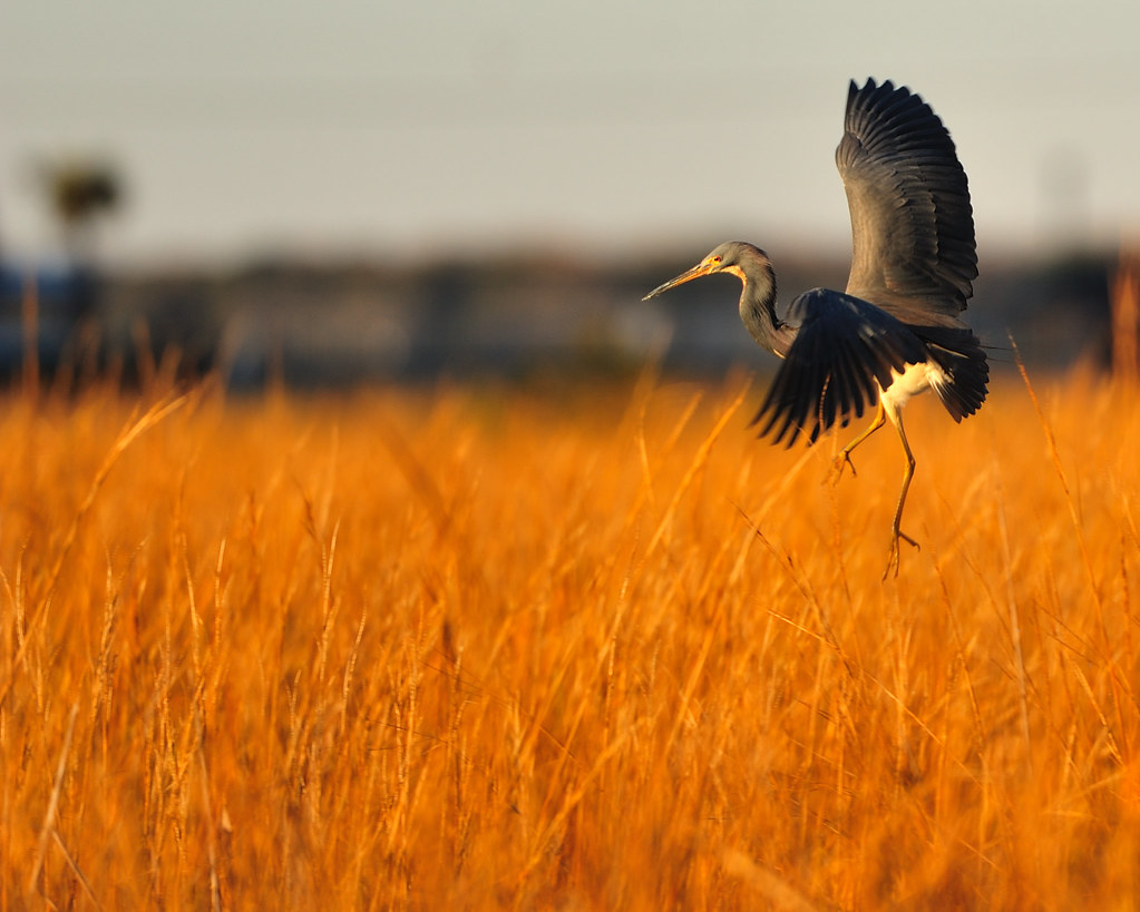 Tri-colored heron landing among the grassy waters