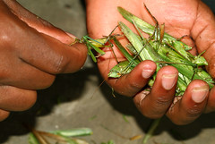 Preparing Grasshoppers (cowyeow) Tags: africa food bug insect eating insects bugs grasshopper locust uganda katydid orthoptera tettigoniidae grasshoppers weirdfood ensifera acrididae kasese exoticfood katydids africafood ugandafood