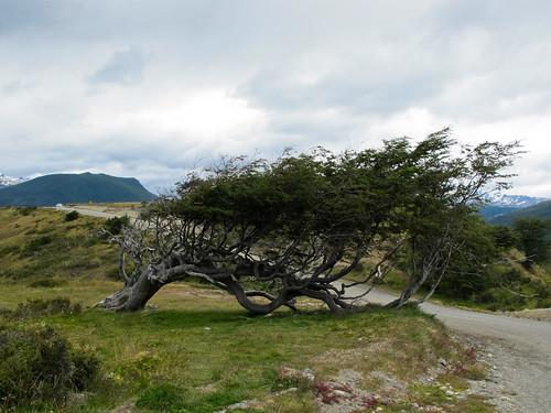 Sleeping Tree - Tierra del Fuego, Argentina