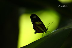 Borboleta (6169) (Jorge Belim) Tags: butterfly papillon borboleta mariposa preferida canoneos50d