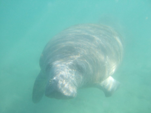 Curious manatee encounter