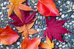 Colorful Autumn Leaves on Pebble Sidewalk (latoga) Tags: california autumn red orange usa macro fall leaves yellow sanramon unitedstates foliage japanesemaple acerpalmatum floweringpear pyruscalleryana