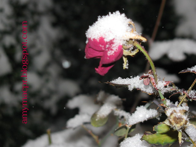 roses and snow 2
