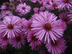 ASTER novae-angliae 'Colwall Constellation'