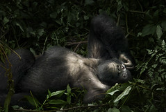 Mountain Gorilla, Uganda (weesam2010) Tags: africa mountain relax rainforest gorilla african relaxing olympus sleepy jungle ape endangered uganda chilled ugandan kisoro mountaingorilla muhabura gahinga criticallyendangered mgahinga virunga virungas muhavura virungavolcanoes sabinyo bufumbira ntebeko lpfragile