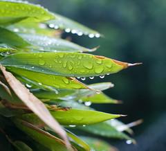Wet leaves (Tanya UK) Tags: water floral leaves rain sydney australia raindrops