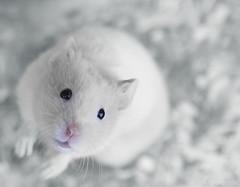 Hamster (Explored) (ZiZLoSs) Tags: white macro canon mouse eos 7d hamster usm f28 hamsters aziz ef100mmf28macrousm abdulaziz عبدالعزيز ef100mm zizloss المنيع 3aziz canoneos7d almanie abdulazizalmanie httpzizlosscom highqualityanimals