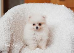 Koda ({amanda too}) Tags: dog cute puppy pom little adorable fluffy pomeranian 10weeks koda amandakeeys