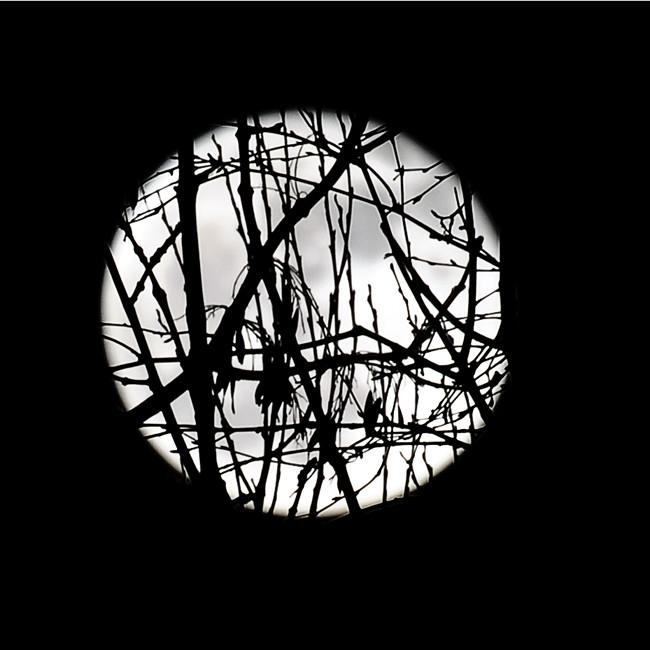 fullmåne bakom pilträdet