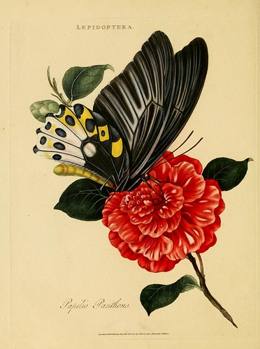 015-Papilio Panthous- An epitome of the natural history of the insects of India…1800- Edward Donovan