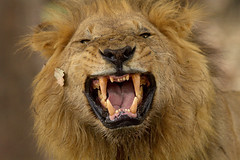 Flehmen (Thomas Retterath) Tags: africa travel nature animals canon tiere wildlife urlaub ngc natur lion adventure safari afrika botswana predator mammals mane carnivore 2010 löwe bigfive pantheraleo felidae okavangodelta säugetier abenteuer raubtiere mähne flehmen kwando kwara fotocompetition fotocompetitionbronze thomasretterath doublyniceshot canonef70200mmlis28usm canonef300lis28usm canonef70200mmlis28us