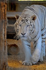 Königstiger im Hamerton Zoo Park (Ulli J.) Tags: england zoo cambridgeshire bengaltiger königstiger bengaalsetijger royalbengaltiger hamertonzoopark tigredubengale indischertiger koningstijger