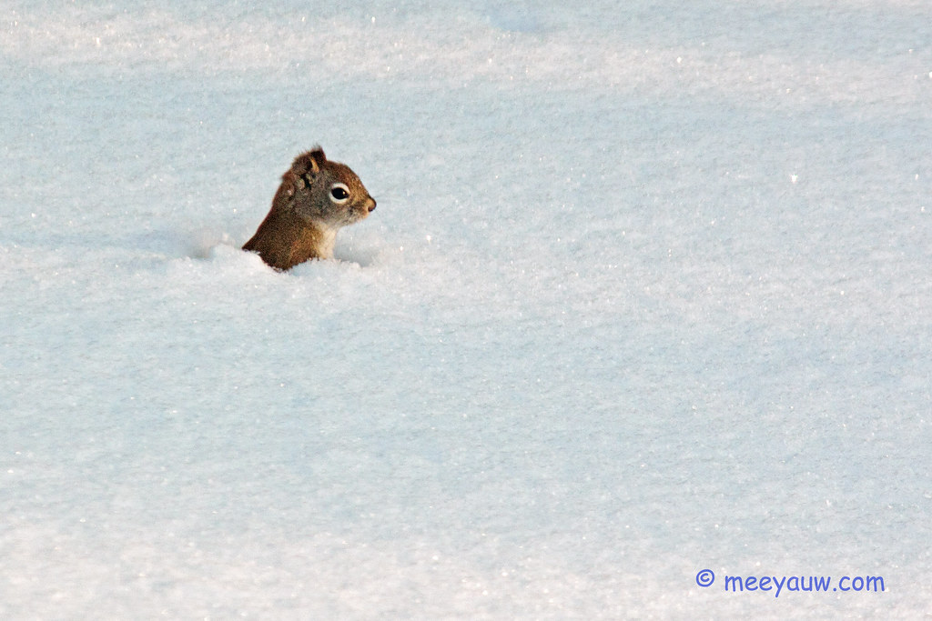 red squirrel   92.jpg
