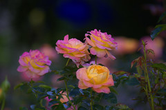 Roses (swong95765) Tags: flowers roses colors beauty beautiful bokeh pretty plant bush