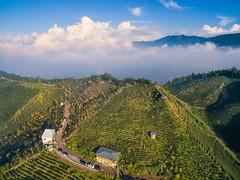 ~~ Ginkgo,Tea farm,clouds (Shang-fu Dai) Tags:  taiwan        ginkgo seaofclouds clouds dji phantom3advanced p3p  sky