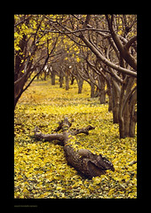 Autumn (seyed mostafa zamani) Tags: life city autumn trees abstract color tree fall nature leaves yellow landscape death leaf colorful iran east concept conceptual          azarbaijan       marand