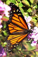 November Butterfly, Winter Migration (moonjazz) Tags: november orange black nature colors closeup insect wings stripes patterns change species dots delicate biology proboscis harbinger thorax survive pollinate thrive monach antenmae