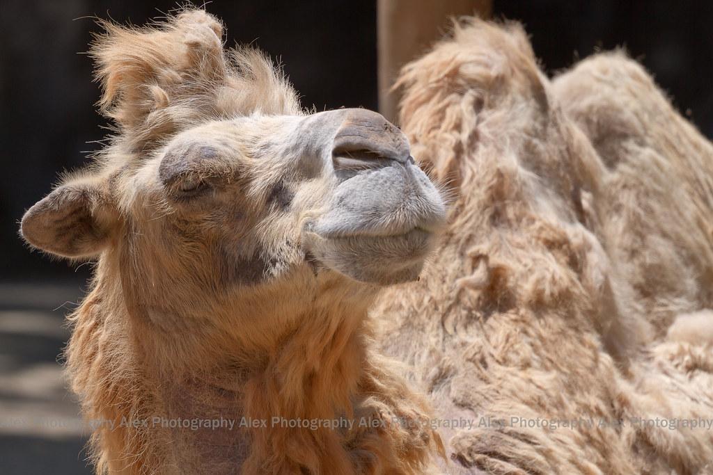 Camel---SEE ON BLACK!!!!!!!
