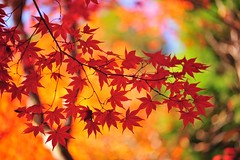 (Jennifer ) Tags: autumn red green fall colors yellow japan temple kyoto     kaede