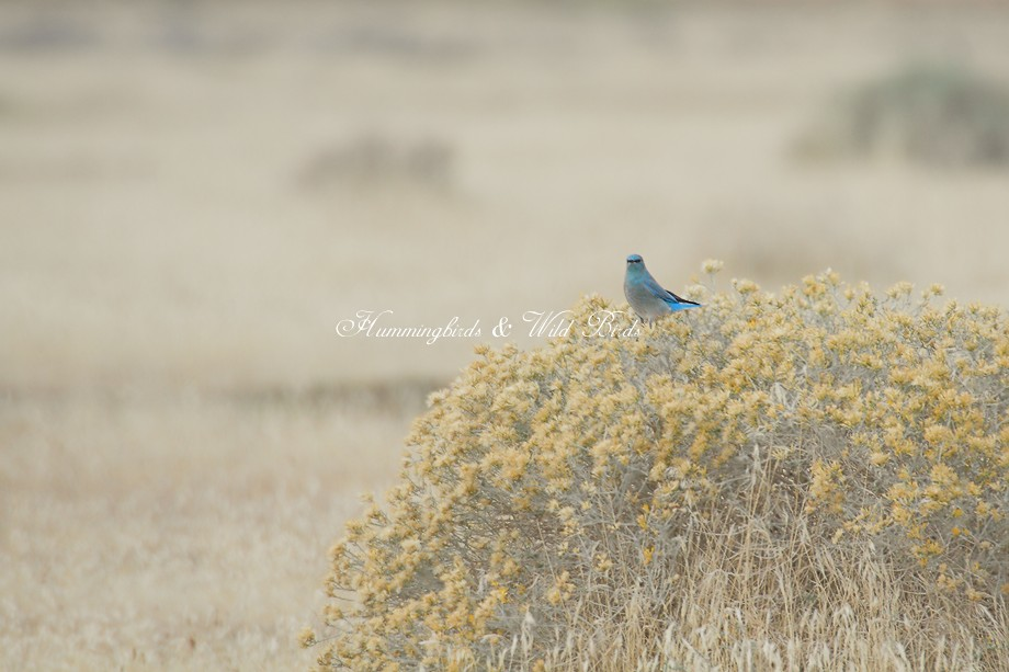 Mountain Bluebird 12101-5