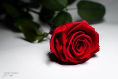La ms linda flor que vi crecer en mis tierras... (Hasiertxo) Tags: red flower verde green rose rojo flor rosa present regalo asiernuez hasiertxo