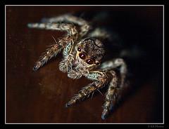 Eyes (RAMASUBRAMANIYAN) Tags: macro spider eyes sigma olympus sigma105mm olympuse510