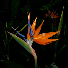 Bird of Paradise (cotarr) Tags: leica flowers blue orange illinois flash birdofparadise greenhouse geotag chicagobotanicgarden cameraraw poolphoto tropicalgreenhouse cs5 cbgflowers dlux4 topazdenoise topazdetail cupdiffuser iphonetracklogger
