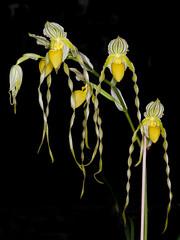 paphiopedilum philippinense alba (Eerika Schulz) Tags: paphiopedilum philippinense alba eerika schulz