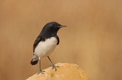 Variable Wheatear (Oenanthe picata) (Rajiv Lather) Tags: family blackandwhite india nature birds animals fauna canon photo order photographer desert image photos bokeh pics wildlife indian birding pic aves telephoto photograph yellowstone twitching 500mm birdwatching birder jaisalmer rajasthan jodhpur avifauna genus birdwatcher passeriformes perchingbirds muscicapidae wintermigrant wheatears variablewheatear oenanthepicata smoothbackground