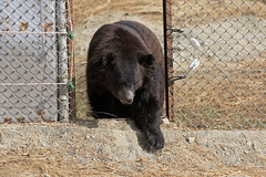 Chowti's first tentative steps of discovery (WSPA Canada) Tags: bear door new food home up female blind time outdoor pictured structures her give used using explore smell brc were after safe forced took trade period refused baiting sticking borders alternative owner quarantine asiatic enclosure sense herself opened confiscate coaxed timidly chowti liveihood familiarise