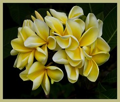 Frangipani White_Yellow_5= (Sheba_Also Thanks for 8 Million + views) Tags: flowers frangipani flowersadminfave masterphotos