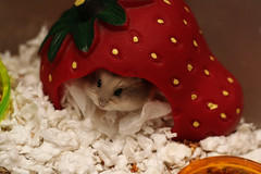 Neil (Miss Shari) Tags: neil dwarfhamster